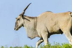 Wildlife Buck Eland Summer Royalty Free Stock Photography