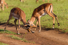 Wildlife Buck Fight Challenge. Wildlife impala buck males fight challenge each other stand-off in wilderness reserve habitat alert for predator dangers late Royalty Free Stock Photos