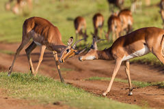Wildlife Buck Fight Challenge. Wildlife impala buck males fight challenge each other stand-off in wilderness reserve habitat alert for predator dangers late Royalty Free Stock Photo