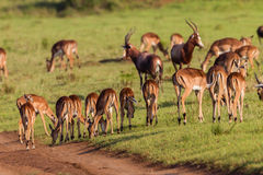 Wildlife Buck Herd Animal Stock Photo