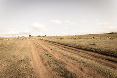 Wildlife Buck Herd Dirt Road Grasslands Sepia Tone Vintage Stock Images