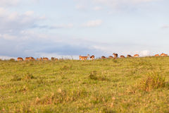 Wildlife Buck Herd Landscape Stock Photo