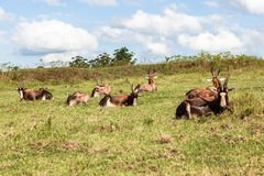 Wildlife Buck Herd Resting Summer Stock Photo