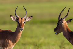 Wildlife Buck Males Animal. Wildlife impala buck males challenge each other stand-off in wilderness reserve habitat alert for predator dangers late afternoon Stock Images