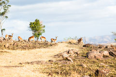 Wildlife Buck Rocky Hillside Stock Photo