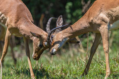 Wildlife Bucks Males Fight Horns. Impala Buck young males animals in contest fight locking horns in mating season Royalty Free Stock Photography