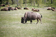 Wildlife buffalos Stock Photo