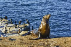 Wildlife in California coast Pacific Ocean Seal resting. Seal relaxation on the beach with other family stock photography