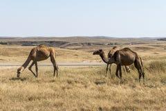Wildlife Camel eating landscape Oman salalah Arabic 2 Stock Photography