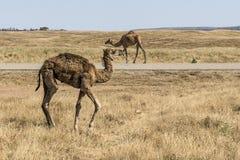 Wildlife Camel eating landscape Oman salalah Arabic 3 Royalty Free Stock Photography