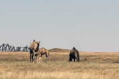 Wildlife Camel eating landscape Oman salalah Arabic 4 Stock Photo