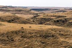 Wildlife Camel eating landscape Oman salalah Arabic 9 Royalty Free Stock Images