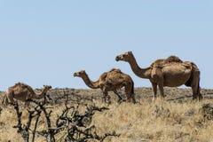 Wildlife Camel eating landscape Oman salalah Arabic 11 Stock Photos