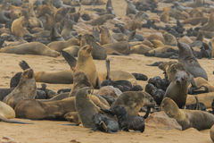 Wildlife - Cape Fur Seal Stock Images
