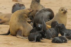 Wildlife - Cape Fur Seal Royalty Free Stock Photography