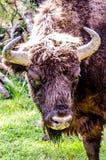 Wildlife, Cattle Like Mammal, Fauna, Horn stock photo
