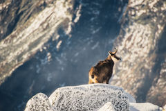 Wildlife of chamois in mountains. High Tatras Stock Image