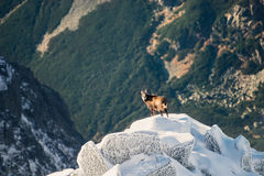Wildlife of chamois in mountains. High Tatras Stock Photos
