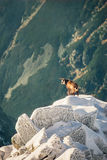 Wildlife of chamois in mountains. High Tatras Royalty Free Stock Images