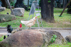 Wildlife Chicken on the stone. A flock of chicken roam freely in a lush Royalty Free Stock Photo