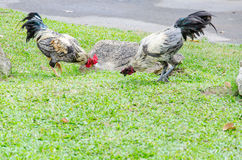 Wildlife Chickens on the grass. A flock of chickens roam freely in a lush Stock Images