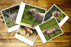 Wildlife. Collage of photos of African wild animals Royalty Free Stock Image