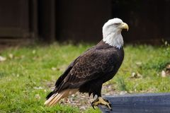 Wildlife Conservation. Bald Eagle Getting Ready to Take a Bath Royalty Free Stock Photos