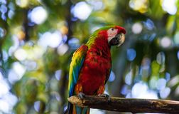 Wildlife in Costa Rica. Parrot Ara in green tropical forest, Costa Rica Stock Photo