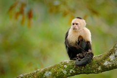 Wildlife of Costa Rica. Travel holiday in Central America. White-headed Capuchin, black monkey sitting on tree branch in the dark. Tropical forest stock photo