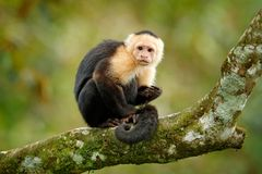 Wildlife of Costa Rica. Travel holiday in Central America. White-headed Capuchin, black monkey sitting on tree branch in the dark. Tropical forest stock photography