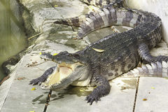 Wildlife crocodile Royalty Free Stock Photography