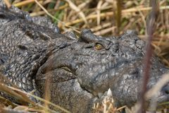 Wildlife crocodile Royalty Free Stock Image