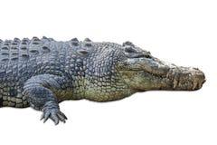 Wildlife crocodile isolated on white 1 Royalty Free Stock Images