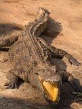 Wildlife crocodile from natural Royalty Free Stock Images