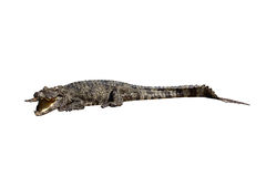Wildlife crocodile open mouth Stock Image