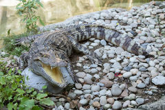 Wildlife  crocodile open mouth in a zoo. Stock Images