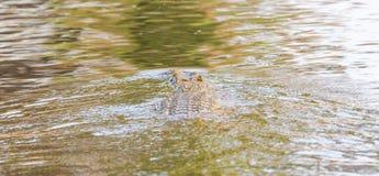 Wildlife crocodile Royalty Free Stock Photos