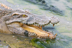 Wildlife crocodile in the water. Royalty Free Stock Photos