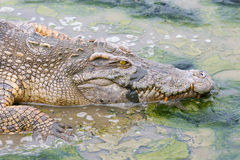 Wildlife crocodile in the water. Stock Photography
