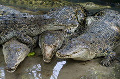 Wildlife crocodiles Royalty Free Stock Photos