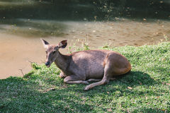 Wildlife dear deer at natural at National Park, Thailand Stock Image