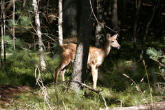 Wildlife deer bambi landscape. Trees green animals royalty free stock photos