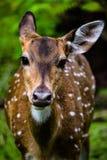 Wildlife, Deer, Fauna, Mammal Royalty Free Stock Image