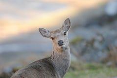 Wildlife, Deer, Fauna, Mammal Royalty Free Stock Photos