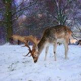 Wildlife, Deer, Fauna, Mammal Royalty Free Stock Images