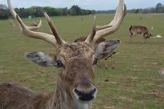 Wildlife deer Stock Photo