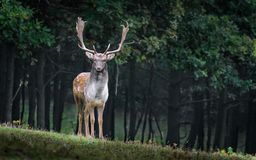 Wildlife, Deer, Mammal, Fauna Royalty Free Stock Photography