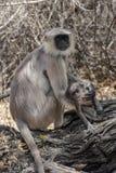 Black faced baboon stock photos