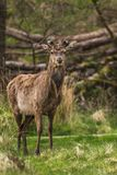 Wildlife Deer in the forest royalty free stock photo