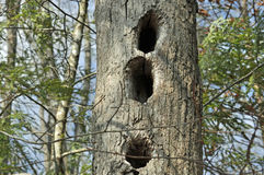 Wildlife Den Tree. Hollow trees and snags are important habitats for many wildlife species such as birds, mammals, reptiles, and amphibians who use the shelter Royalty Free Stock Photos